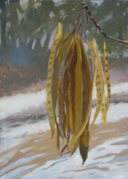 Mimosa Bean Pods II   14x10   Oil on Paper   2011